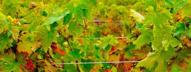 Klimaschutzfact: Wein